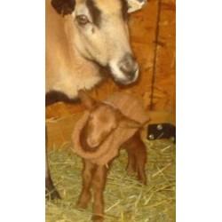 Lamb or Kid Coat
